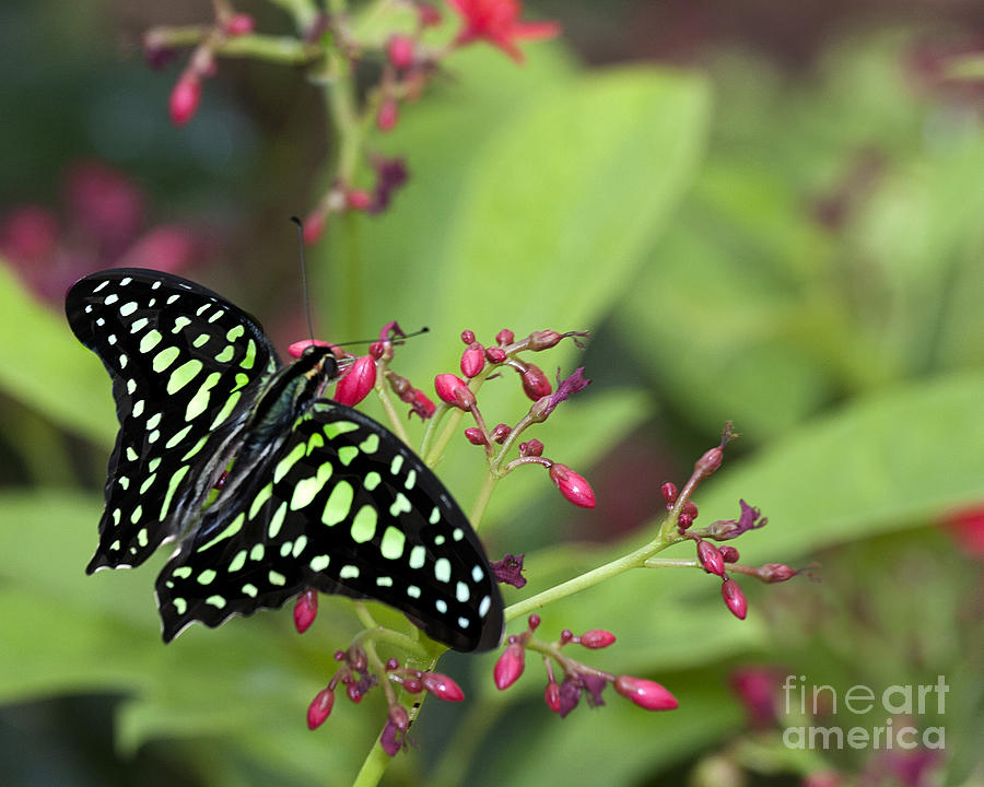 Tailed Jay Butterfly Photograph