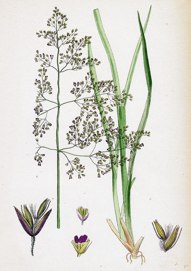 19th Century Drawing - Aira Eu-caespitosa Tufted Hair-grass by English School