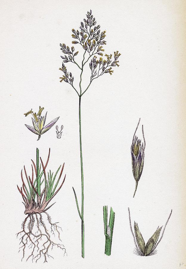19th Century Drawing - Aira Eu-fluxuosa Heath Hair-grass by English School