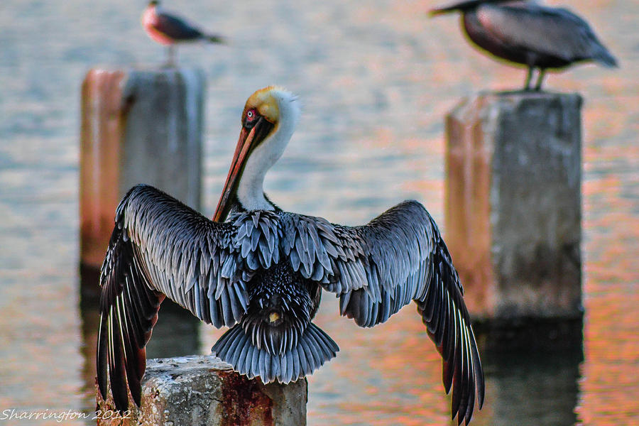 Pelican Photograph - Airing Out by Shannon Harrington