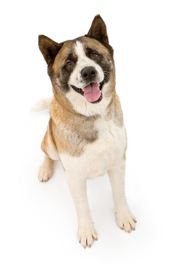 Dog Photograph - Akita Dog Sitting And Looking Forward by Susan Schmitz