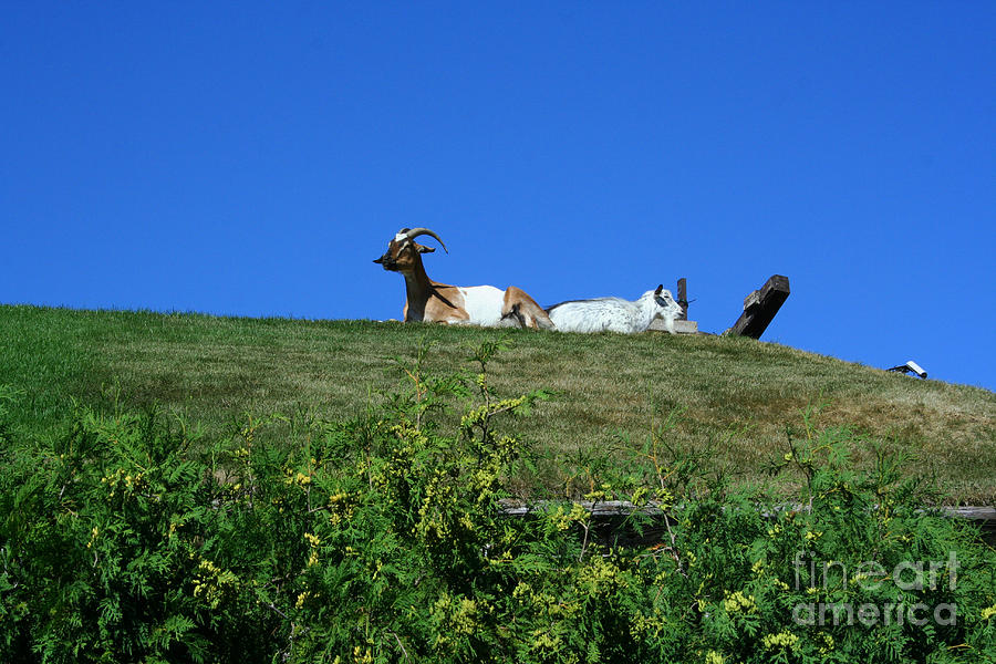 Al Johnsons Photograph - Al Johnsons Resturant Goats by Tommy Anderson