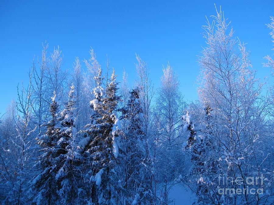 Alaska Photograph - Alaska Sunrise Illuminating Spruce Trees Among Birches by Elizabeth Stedman