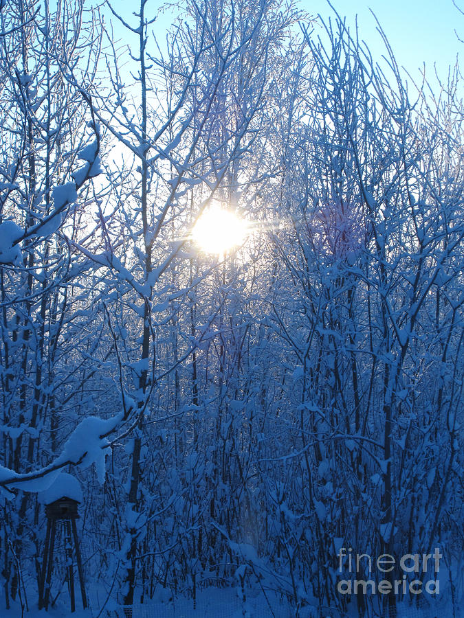 Alaska Photograph - Alaska Sunrise Illuminating Through Birches And Willows by Elizabeth Stedman