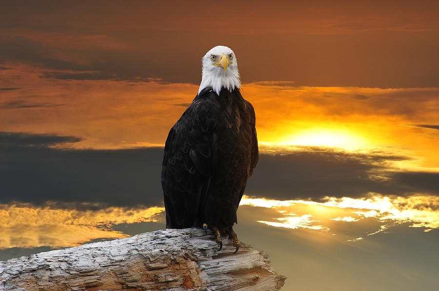 Alaskan Bald Eagle at sunset by Patrick Wolf