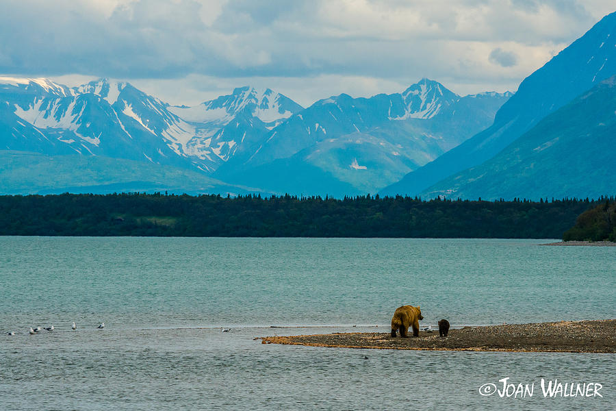 Alaska Photograph - Alaskan Grizzly and Spring Cub by Joan Wallner