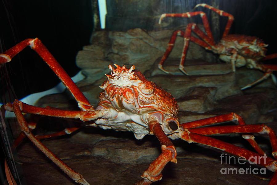 Crab Photograph - Alaskan King Crab 5d24125 by Wingsdomain Art and Photography