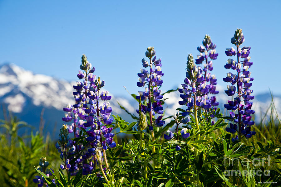 Flowers Photograph - Alaskan Lupin by Chris Heitstuman