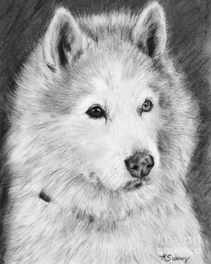 Alaskan Malamute Drawing Mardi by Kate Sumners