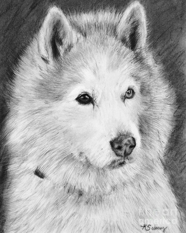 Alaskan Malamute Drawing Mardi by Kate Sumners