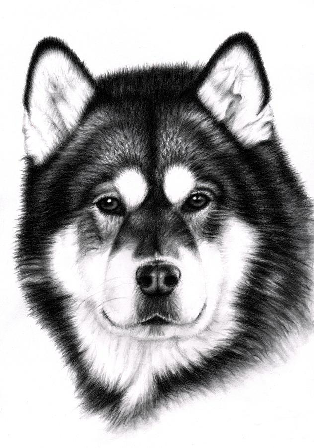 Dog Drawing - Alaskan Malamute Portrait by Nicole Zeug
