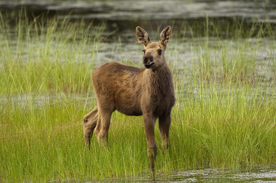 Alaskan Moose Calf  Alaska Photograph by Michael Quinton