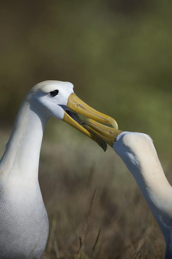 Waved Albatross Photograph - Albatross Courtship by Richard Berry