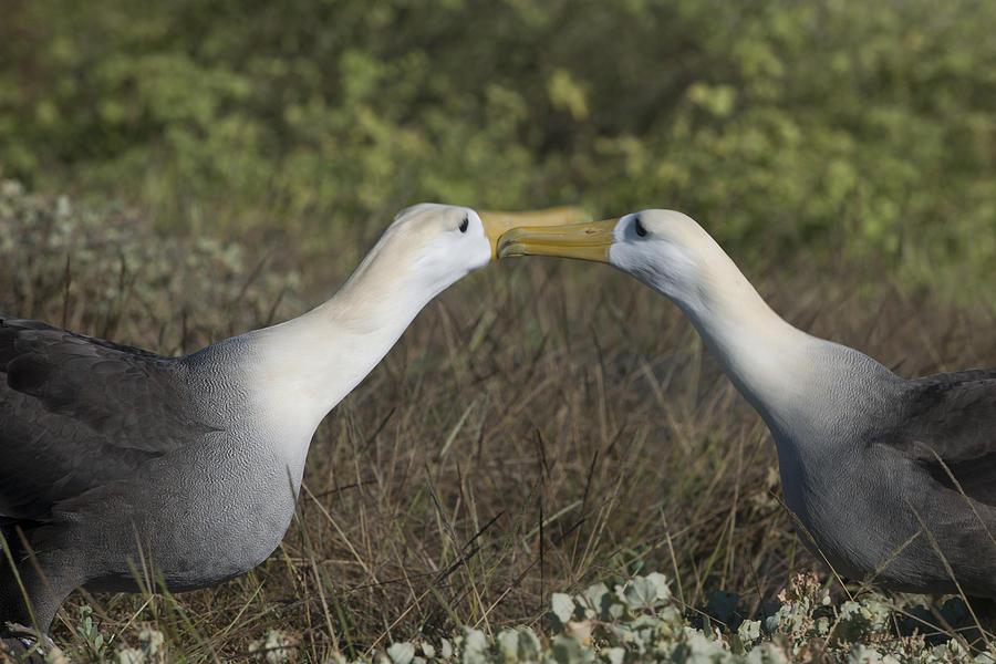Waved Albatross Photograph - Albatross Perform Courtship Ritual by Richard Berry