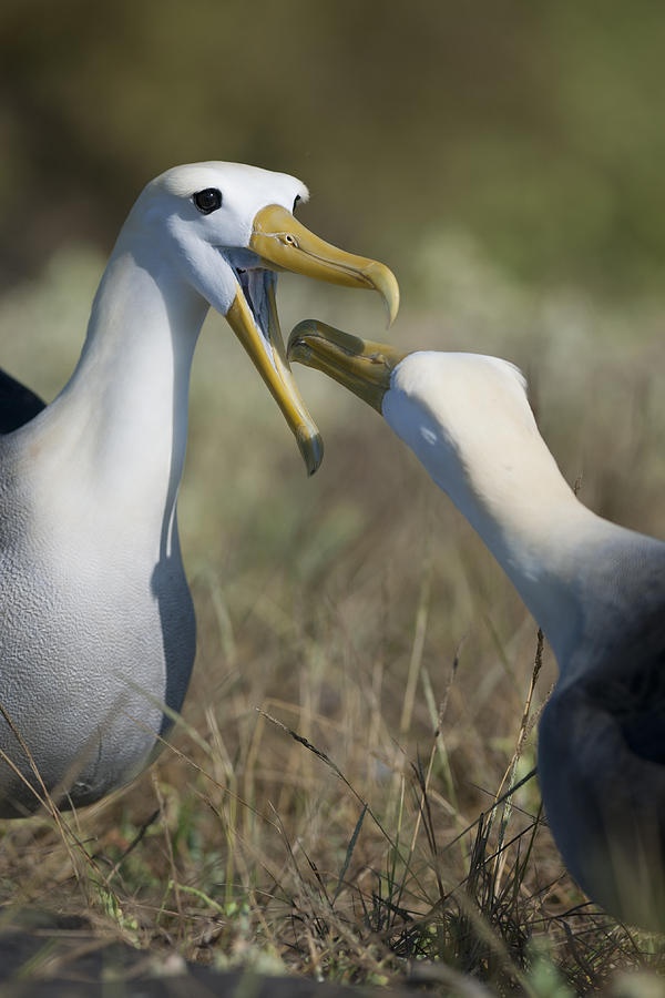 Waved Albatross Photograph - Albatross Perform Mating Ritual by Richard Berry