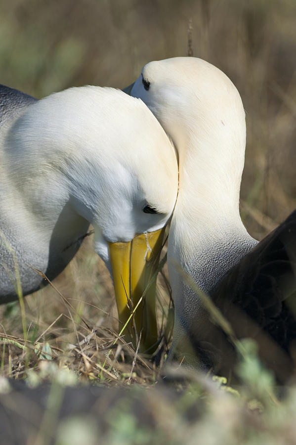 Waved Albatross Photograph - Albatrosses snuggle by Richard Berry