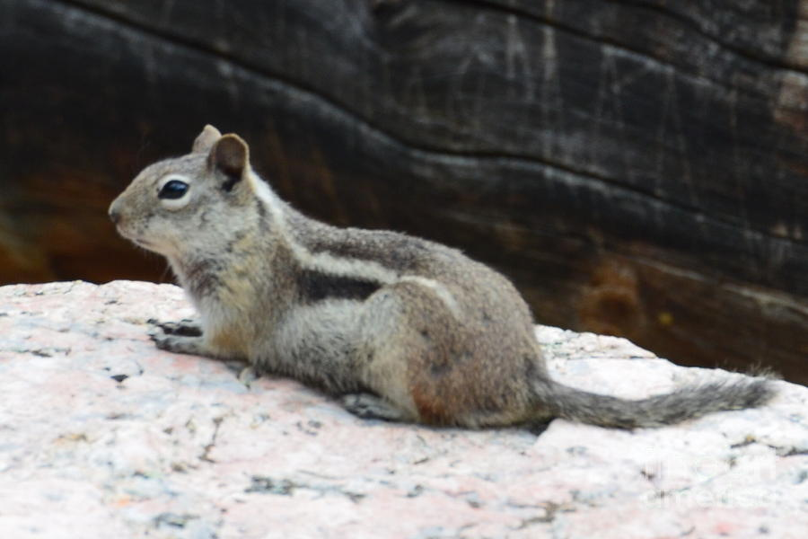 Squirrel Photograph - Albert Squirrel by Paulina Roybal
