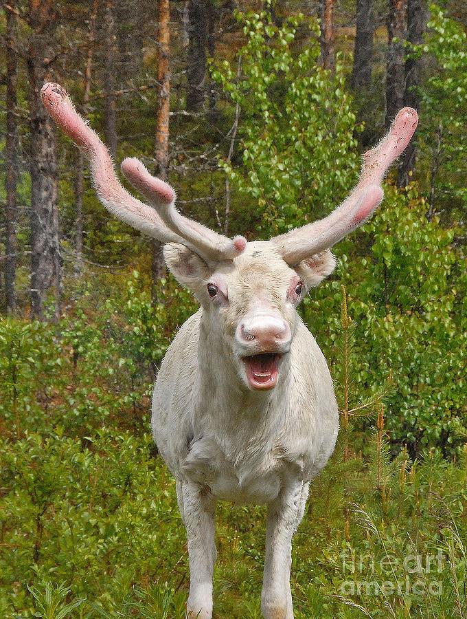 Albino Reindeer Photograph by Mae Wertz