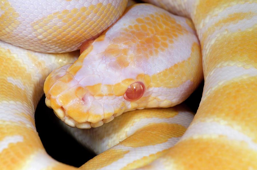 Albino Photograph - Albino Royal Python by Nigel Downer
