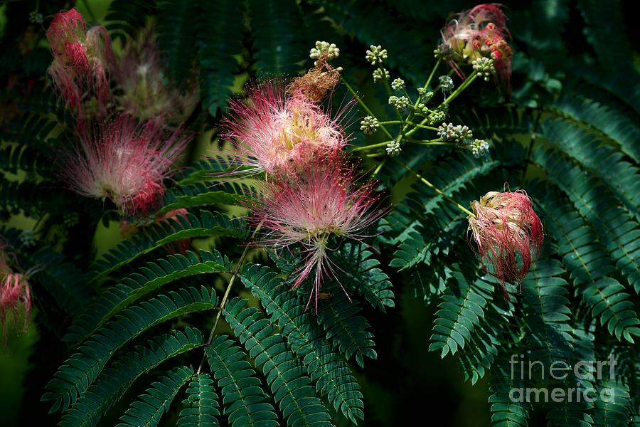 Blooming Tree Photograph - Albizia Julibrissin by Joseph Yarbrough