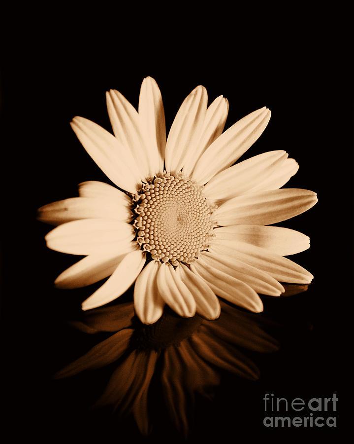 Albumen Daisy Photograph