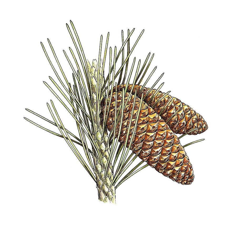 Cutout Photograph - Aleppo Pine (pinus Halepensis) Cones by Science Photo Library
