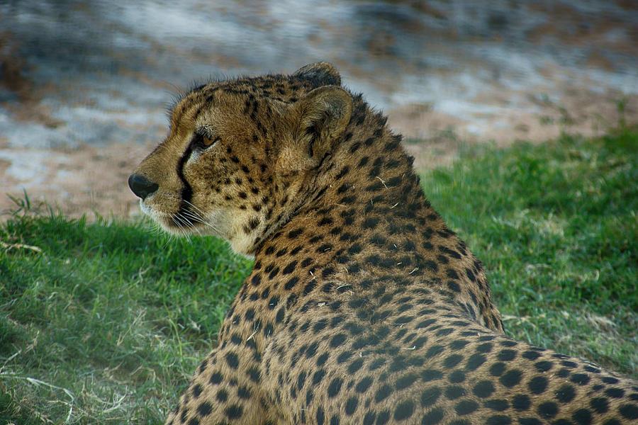 Cheetah Photograph - Alert Eyes by Munir El Kadi