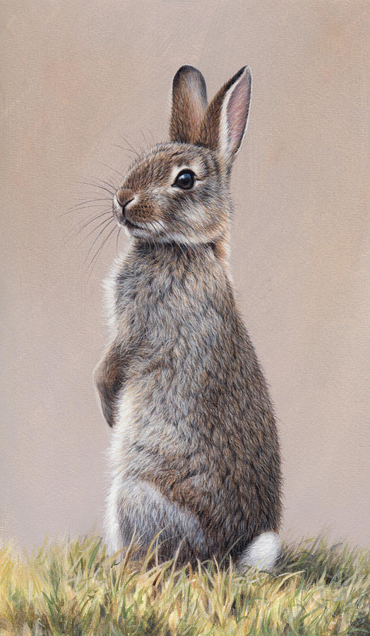Alert Rabbit Sitting Up On Hind Legs By Andrew Hutchinson