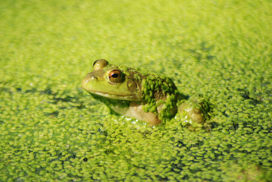 Green Algae Photograph - Algae Covered Frog by Optical Playground By MP Ray