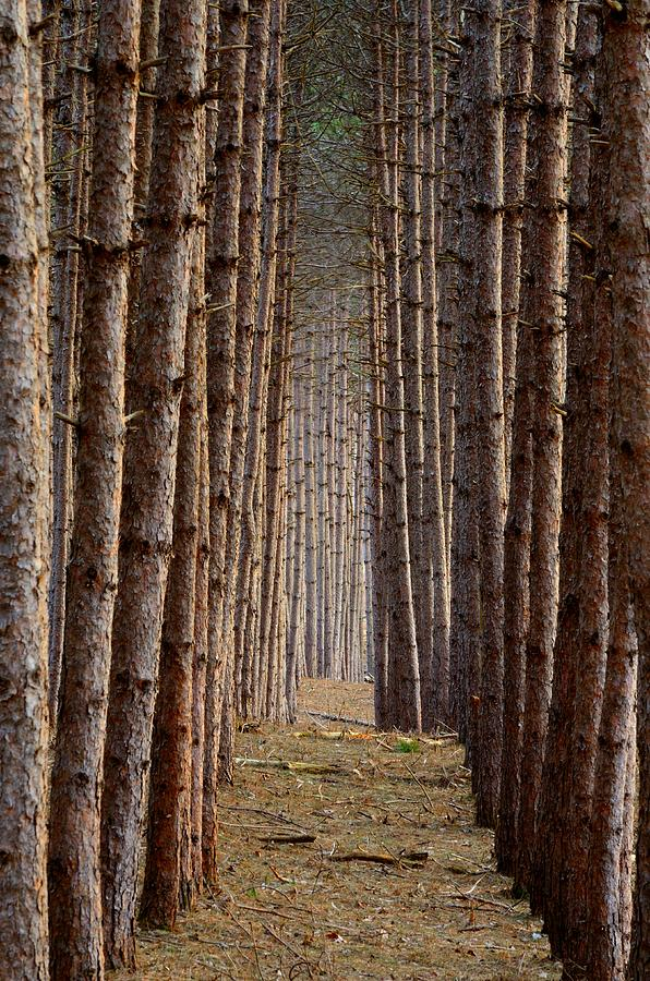 Pine Trees Photograph - Aligned by Paul Noble