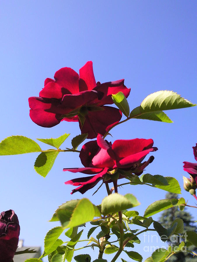 All About Roses And Blue Skies Iv Photograph by Daniel Henning