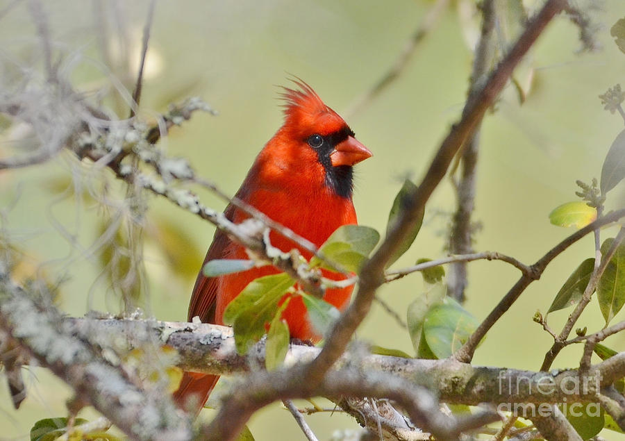 Cardinal Photograph - All Dressed In Red by Kathy Baccari
