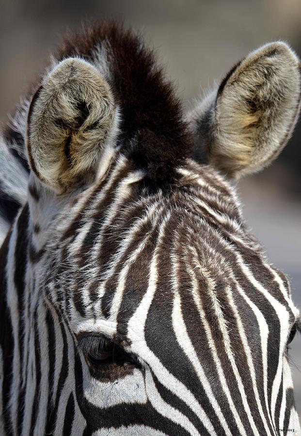 Zebra Ears Photograph - All Ears by Maria Urso