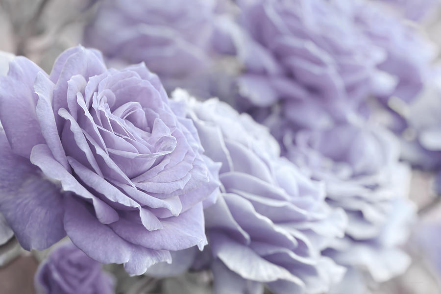 Image result for lavenderroses