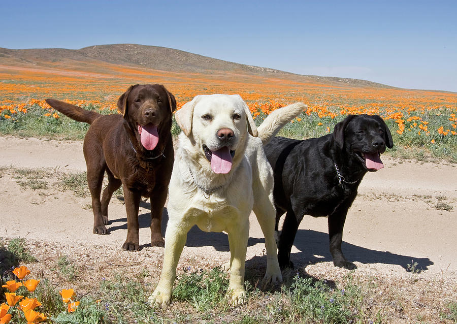 Adult Photograph - All Three Colors Of Labrador Retrievers by Zandria Muench Beraldo