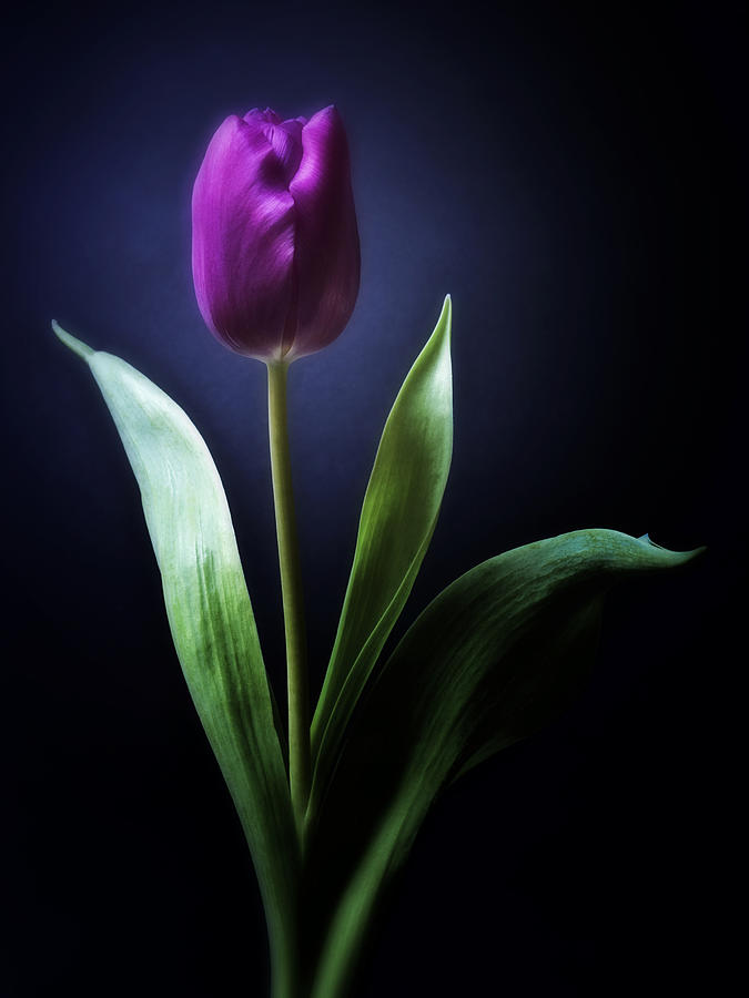 Black and white photograph black and white purple tulips flowers art work photography by artecco