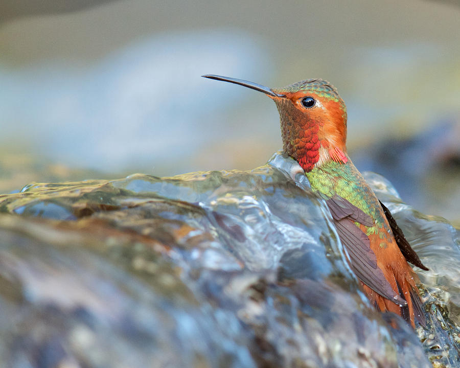 Allen's Hummingbird Taking a Bath on a Waterfall by Steve Kaye