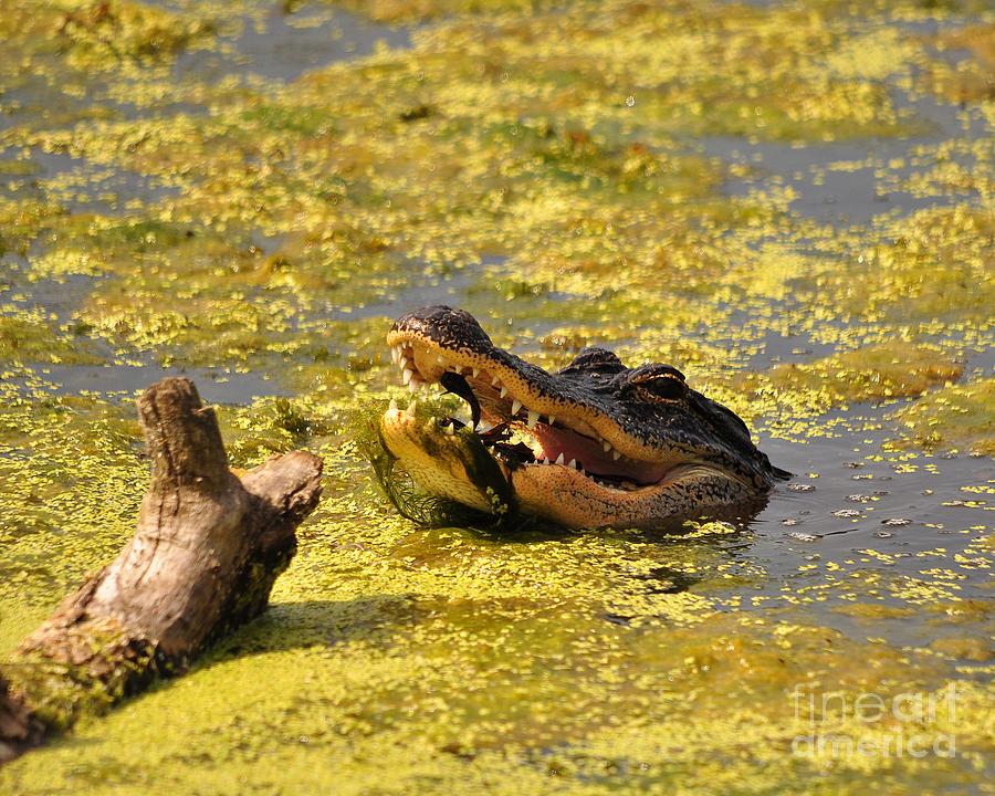 Alligator Photograph - Alligator Ambush by Al Powell Photography USA