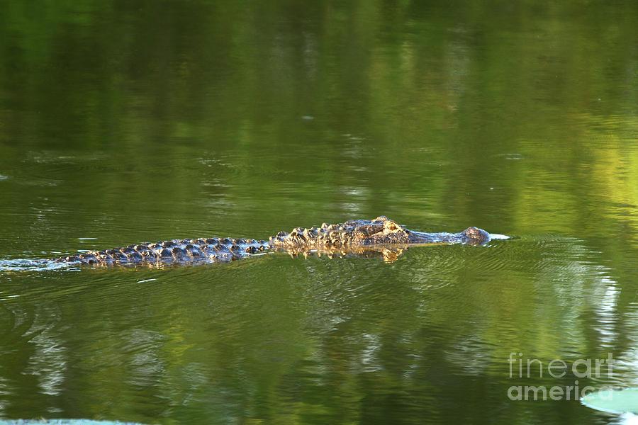 Alligator Photograph - Alligator In Lake Martin by Kelly Morvant