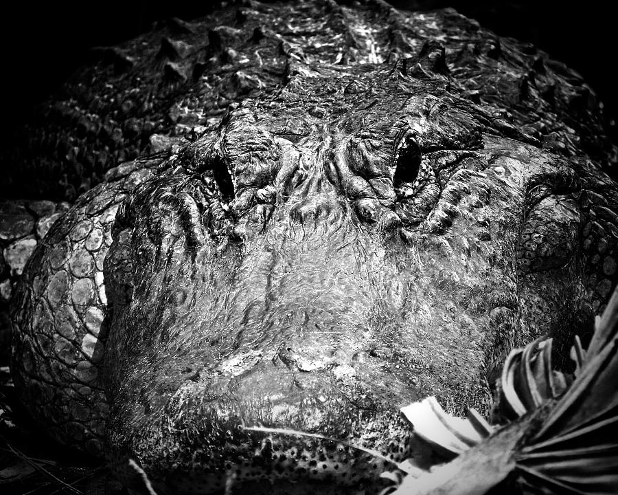 Alligator Photograph - Alligator On Guard  by Mark Andrew Thomas