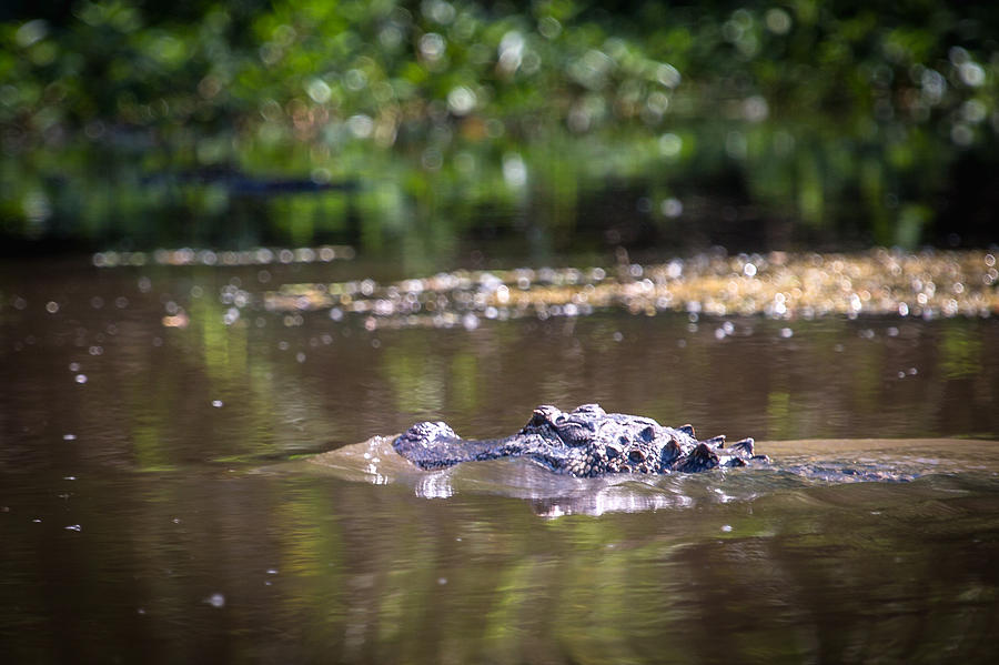 Alligator Swimming In Bayou 1 Photograph by Gregory Daley  MPSA