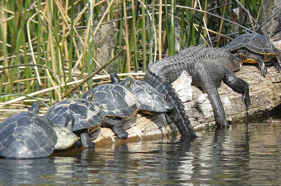 Alligator Photograph - Alligator Turtle Train by Krista Keck