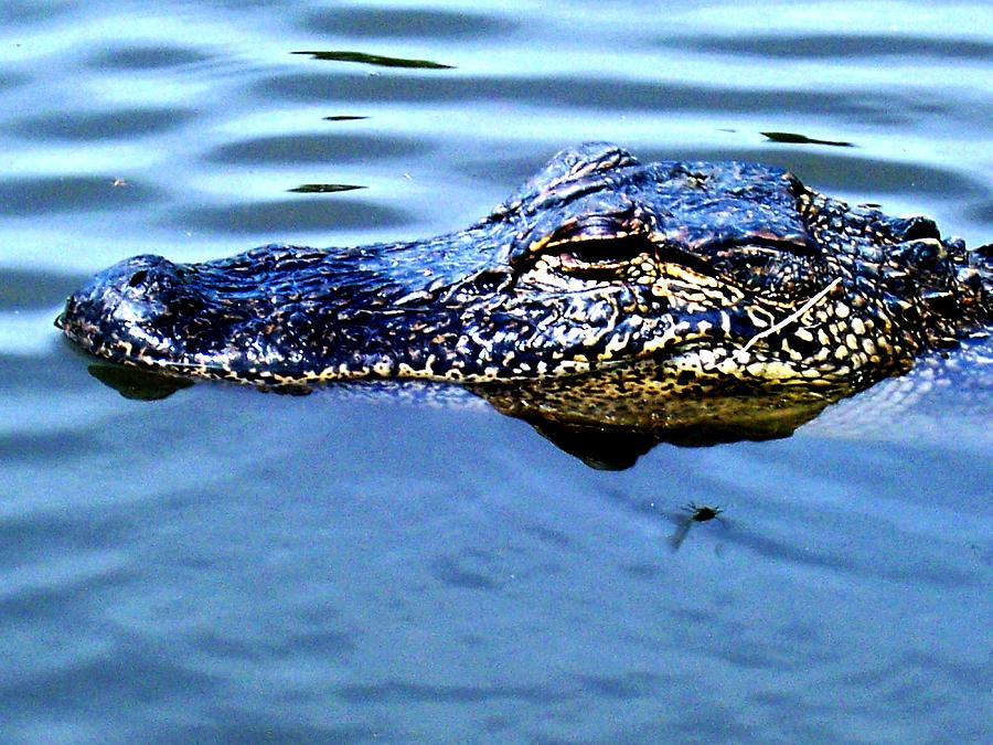 Wildlife Photograph - Alligator With Spider by Robin Lewis