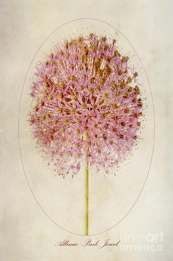 Allium Photograph - Allium Pink Jewel by John Edwards