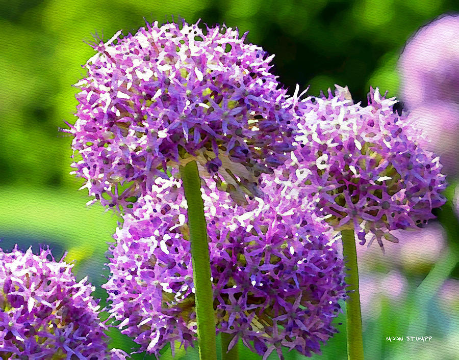 Allium Series - Bright Light Photograph