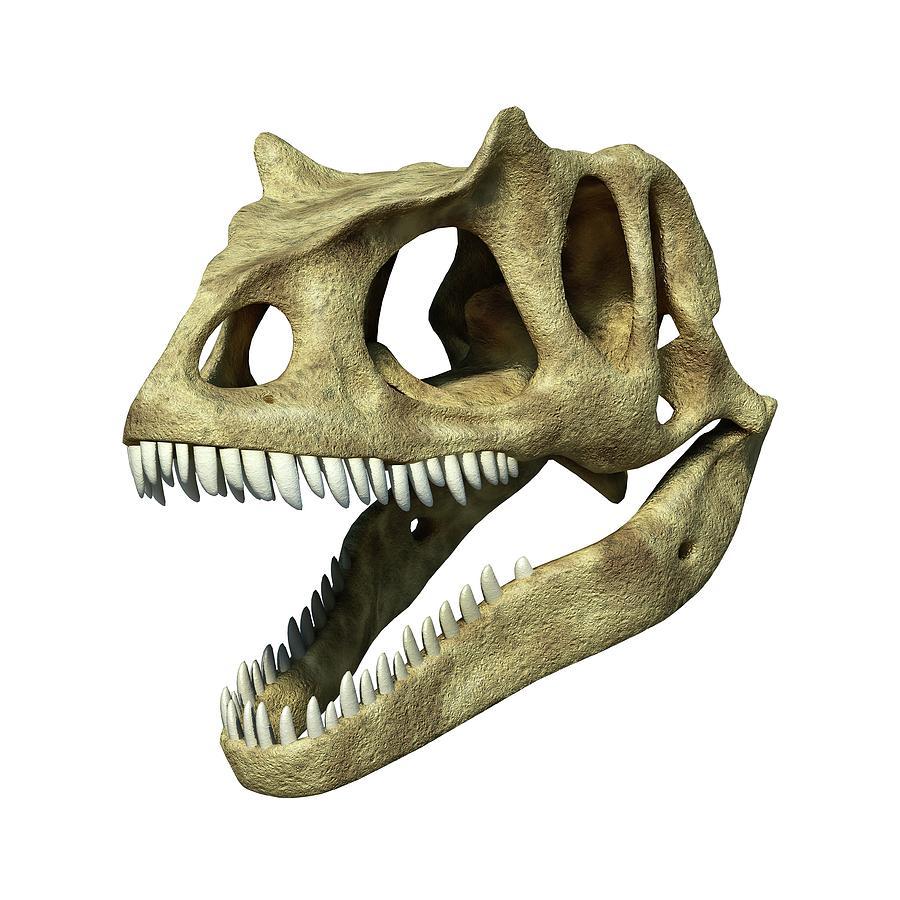Animal Photograph - Allosaurus Dinosaur Skull by Leonello Calvetti/science Photo Library