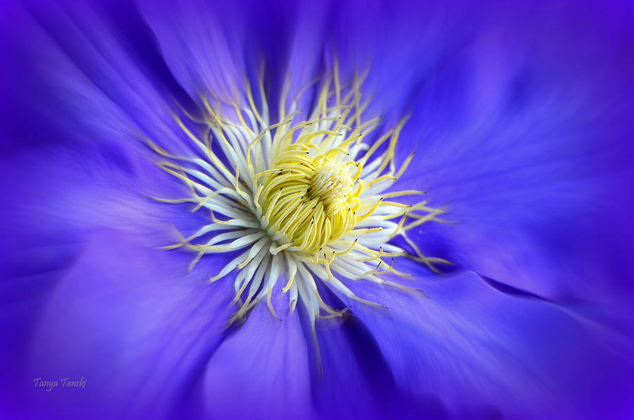 Clematis Photograph - Alluring.... by Tanya Tanski