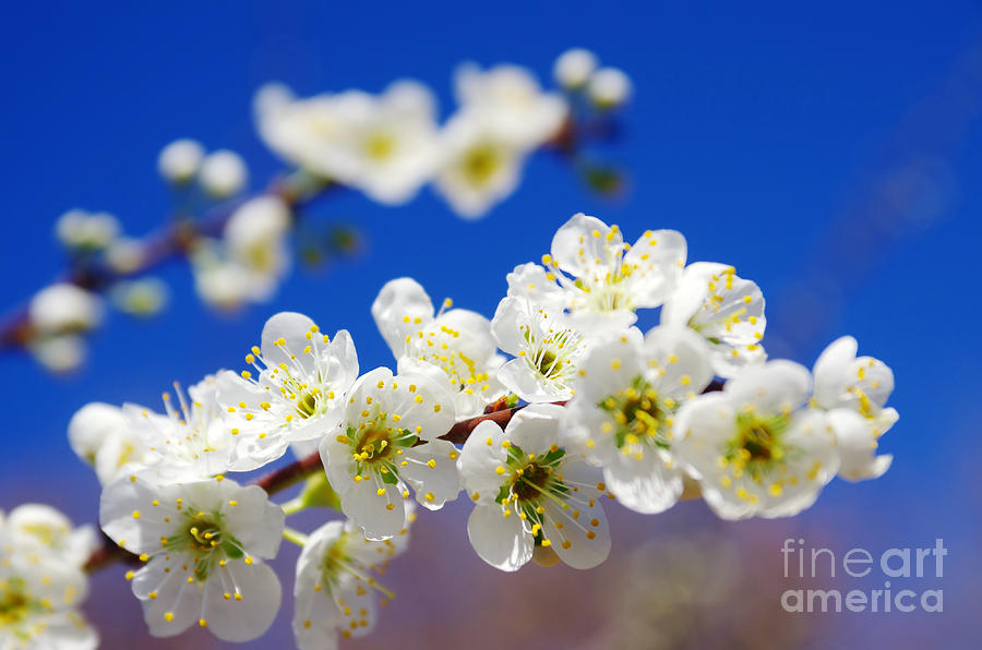 Abstract Photograph - Almond Blossom by Carlos Caetano