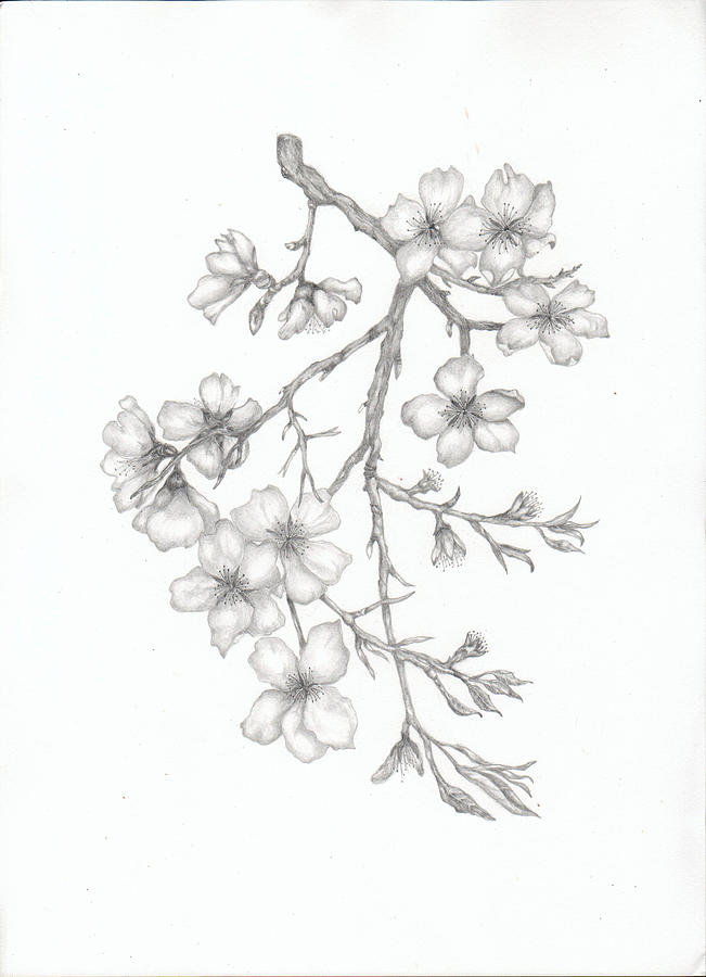Flower Tree Line Drawing : Almond blossom painting by elaine f thompson