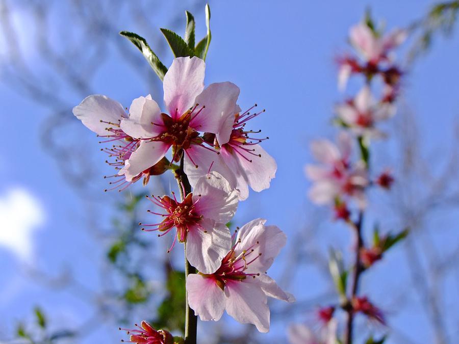 Almond Blossom by Nigel Cameron